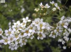 Spiraea cinerea 'Grefsheim' -weiße Rispenspiere-