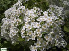 Spiraea decumbens -weiße Zwergspiere-