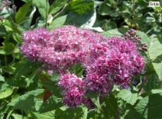 Spiraea japonica 'Anthony Waterer' -rote Sommerspiere-
