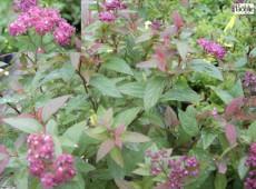 Spiraea japonica 'Darts Red' -Zwergspiere-