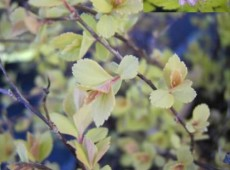Spiraea japonica 'Golden Princess' -Japanspiere-