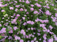 Spiraea japonica 'Little Pincess' -rosa Zwergspiere-