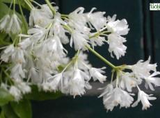 Staphylea colchica -kaukasische Pimpernuss-