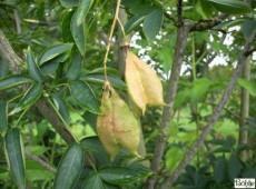 Staphylea pinnata -gemeine Pimpernuss-