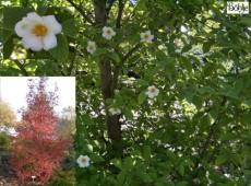 Stewartia pseudocamelia (Stuartia pseudocamellia) -Scheinkamelie-