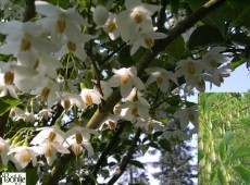 Styrax japonicus -jap. Storaxbaum / jap. Schneeglöckchenbaum-