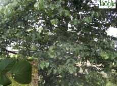 Styrax obassia -Storaxbaum-