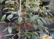 Sycopsis sinensis -Zaubernussgewächs-
