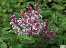 Syringa 'Tinkerbelle' ® -kleinblättriger Herbstflieder-