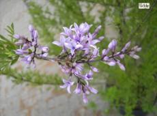 Syringa afghanica (Syringa protolaciniata) -afghanischer Flieder-