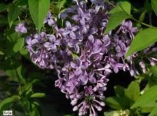 Syringa chinensis 'Saugeana' -chinesischer Flieder-