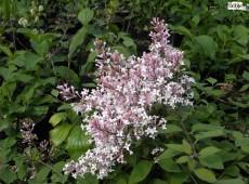 Syringa microphylla 'Superba' -kleinblättriger Herbstflieder-