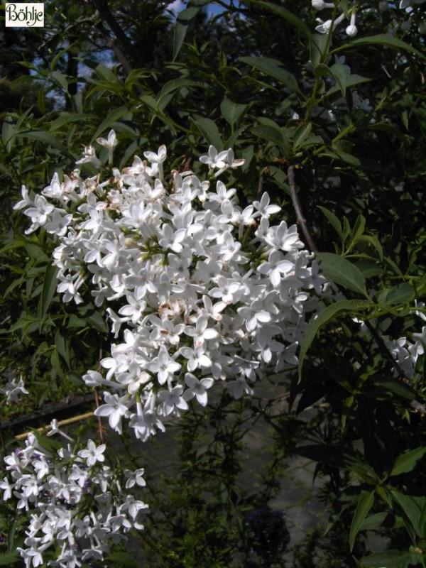Syringa persica 'Alba' -persischer Flieder-