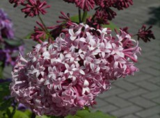 Syringa prestoniae 'Miss Canada' -botanischer Flieder-