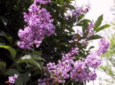 Syringa 'Royalty'