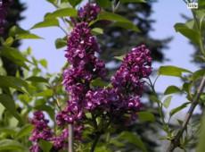 Syringa vulgaris 'Charles Joly' -Flieder-