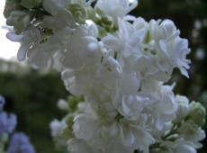 Syringa vulgaris 'Mme. Lemoine' -Flieder-