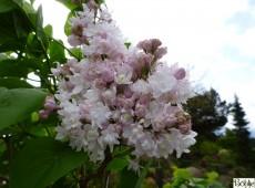Syringa vulgaris 'Schöne von Moskau' -Flieder-