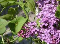 Syringa vulgaris - Flieder -