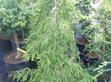 Taxodium distichum 'Cascade Falls'  (R)