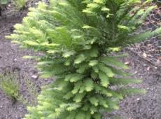 Taxodium distichum 'Pevé Minaret'