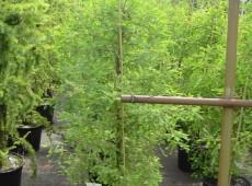Taxodium distichum -Sumpfzypresse-