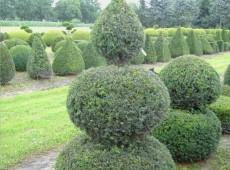 Taxus baccata -Formschnitt-