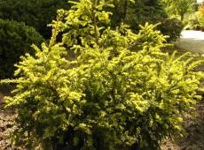 Taxus baccata 'Adpressa Aurea' -Goldeibe-