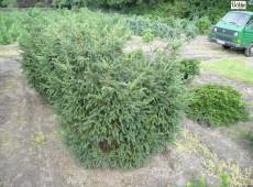 Taxus baccata 'Adpressa' -Eibe-