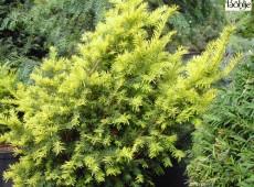 Taxus baccata 'Aurea' -gelbe Eibe-