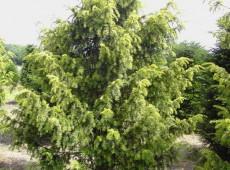 Taxus baccata 'Dovastoniana Aurea' -gelbe Adlerschwingeneibe-