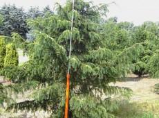 Taxus baccata 'Dovastoniana' -Adlerschwingeneibe-