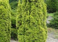 Taxus baccata 'Fastigiata Aureomarginata' -Gelbe Säuleneibe-