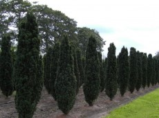 Taxus baccata 'Fastigiata Robusta' -Säuleneibe-