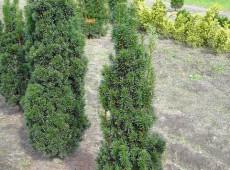 Taxus baccata 'Fastigiata' -irische Säuleneibe-