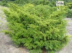 Taxus baccata 'Nissen's Corona' -Kroneibe-
