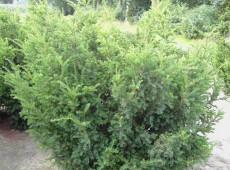 Taxus baccata 'Nissen's Kadett' -Eibe-
