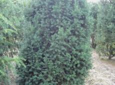 Taxus baccata 'Overeynderi' -Kegel Eibe-