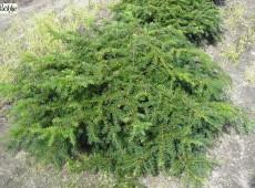 Taxus baccata 'Repandens' -Tafel- / Kisseneibe-