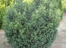 Taxus baccata 'Schwarzgrün' -Eibe-