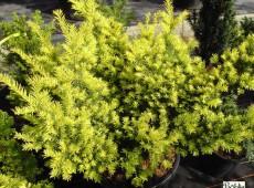 Taxus baccata 'Semperaurea' -Eibe-