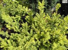 Taxus baccata 'Summergold' -Eibe-