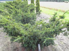 Taxus cuspidata 'Nana' -Eibe-