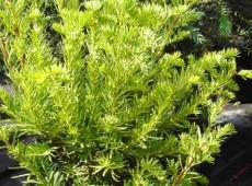 Taxus cuspidata -japanische Eibe-