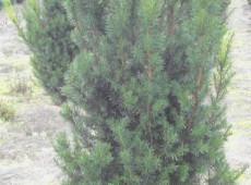 Taxus media 'Hicksii' -fruchtende Bechereibe-