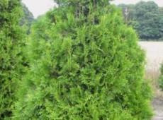 Thuja occidentalis 'Columna'  -Säulenlebensbaum-