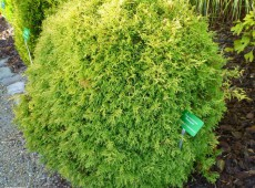Thuja occidentalis 'Rheingold' -Gold-Lebensbaum-