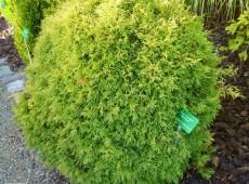 Thuja occidentalis 'Rheingold' -Gold-Lebensbaum-
