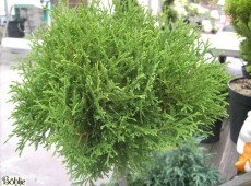 Thuja occidentalis 'Tiny Tim' -Lebensbaum-