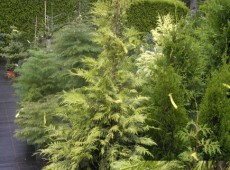 Thuja occidentalis 'Vervaeneana'
